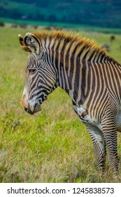 Grevy's zebra head close up on green grassland
