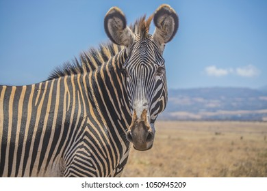 Grevy's zebra head closeup