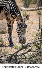 Grevys zebra or Imperial zebra outdoors in the african wilderness in samburu national park in Kenya. Safari, wildlife and travel concept.