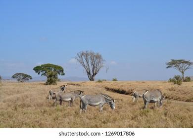 Grevy's zebra on dry African grassland landscape