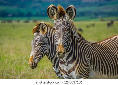 Grevy's zebra on green savanna grassland