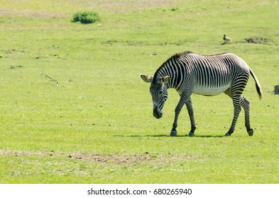A Grevys Zebra stalks its territory