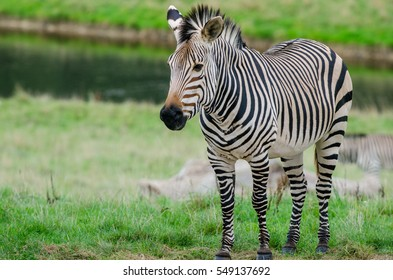A Grevy's Zebra stands in a field in front of a lake