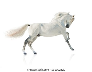 grey akhal-teke horse isolated