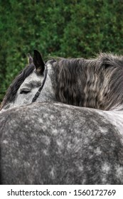 Grey andalusian breed horse looking into the distance standing with the back. Animal portrait close with selective focus on the eye. Details of a face.
