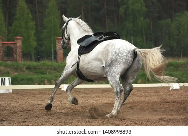 Grey andalusian horse cantering in riding arena on his own