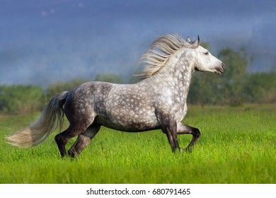 Grey andalusian horse with long mane trotting