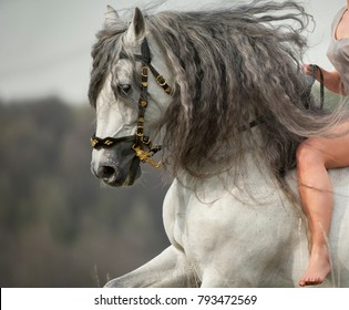 grey andalusian horse with long mane under the saddle portrait
