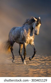 Grey andalusian horse trotting in desert dust