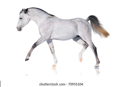 Grey arabian horse isolated