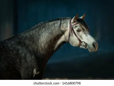 Grey arabian horse portrait on dark background