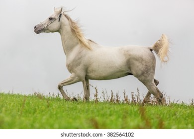 Grey Arabian stallion running in summer meadow.