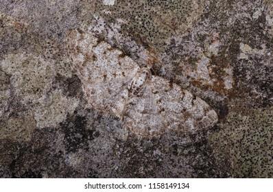 Grey Birch moth ( Aethalura punctulata ). Sitting on a rock.
