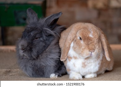 Grey and biscuit coloured tame pet rabbits snuggled up together relaxing. Cute bunny rabbits. Farm animals.