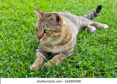 Grey Black tabby of Thailand, lying on the grass green.