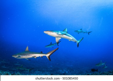 Grey and black tips reef sharks circling in the blue water. Fakarava, French Polynesia.