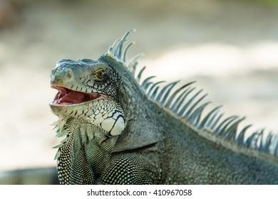 grey blue iguana,Guadeloupe