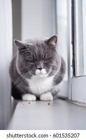 The grey British cat Shooting indoors