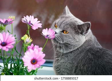 Grey British cat sniffs pink flowers, feline character and behavior, spring aggravation in cats