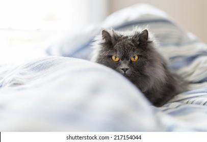 Grey British Longhair Cat in Bed