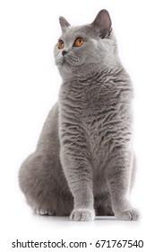 grey british short hair cat sitting on white background