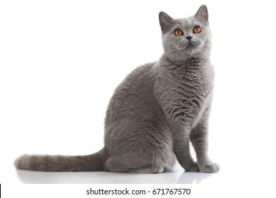 grey british short hair cat sitting sideways