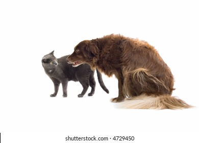 Grey British Short-haired cat and a brown dog
