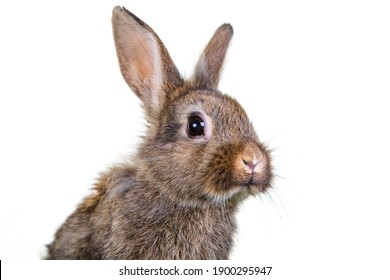 Grey brown baby rabbit isolated on a white background.