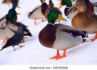 A grey, brown, green, and black drake or duck looking right and standing on ice while being surrounded by the group of other animals, such as ducks, drakes, crows, and pigeons seen in public park