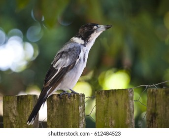 Grey Bucherbird in Queensland, Australia. Bird sits on a wooden fence.