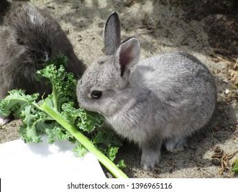 Grey bunny rabbit at Jericho beach Vancouver