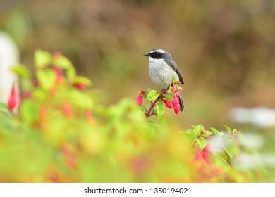 Grey Bushchat bird branch .
