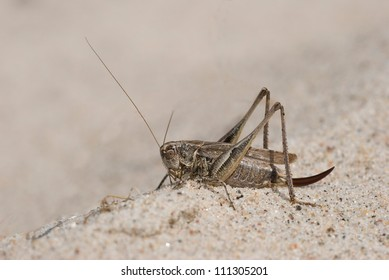 Grey bush-cricket (Platycleis albopunctata) resting in the sand, Denmark