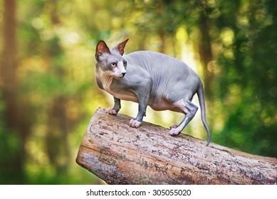 13.154 hình ảnh về Mèo không lông, sắc nét độ phân giải cao tuyệt đối