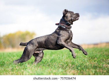 grey Cane Corso dog playing in field