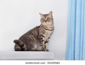 Grey cat against white wall and blue curtains, close up