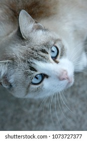 grey Cat with blue eyes