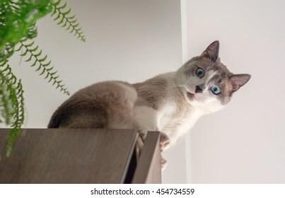 Grey cat with blur eyes sitting on a cupboard