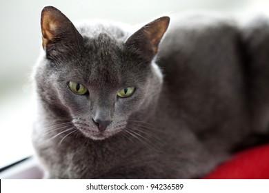 grey cat close up
