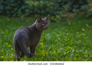 A grey cat hunting in the garden