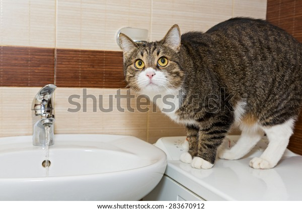 Grey cat interest water from the faucet in the sink