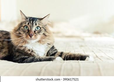 Chat gris allongé sur le lit