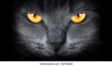 grey cat on a black background