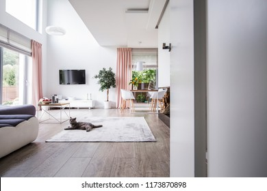 Grey cat on carpet in spacious living room interior with plant, television and chairs at table. Real photo