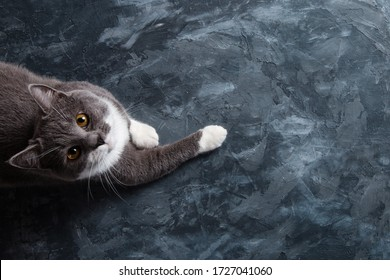 Grey cat on a dark concrete background, reaches for something, the view from above, the blank.