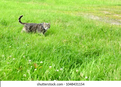 Grey cat on a harness and leash on a stroll in the grass