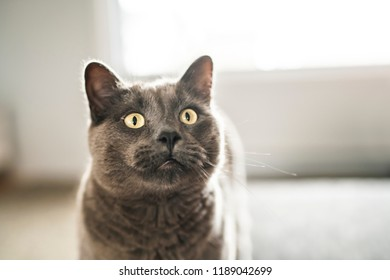 grey cat on living room at home