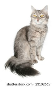 Grey cat on a white background.