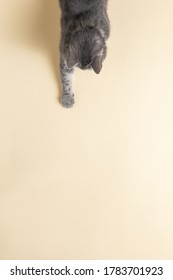 Grey cat on yellow background, looks and stretches paw. Copy space, banner, top view.