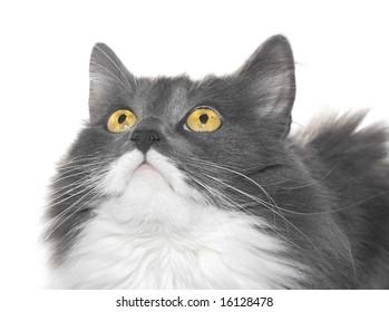 Grey cat with orange eyes over white background